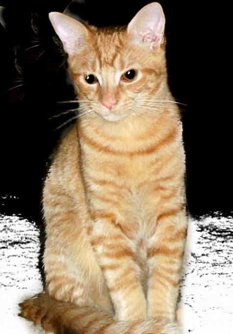American Shorthair American Shorthair Cat Cat Breeds British