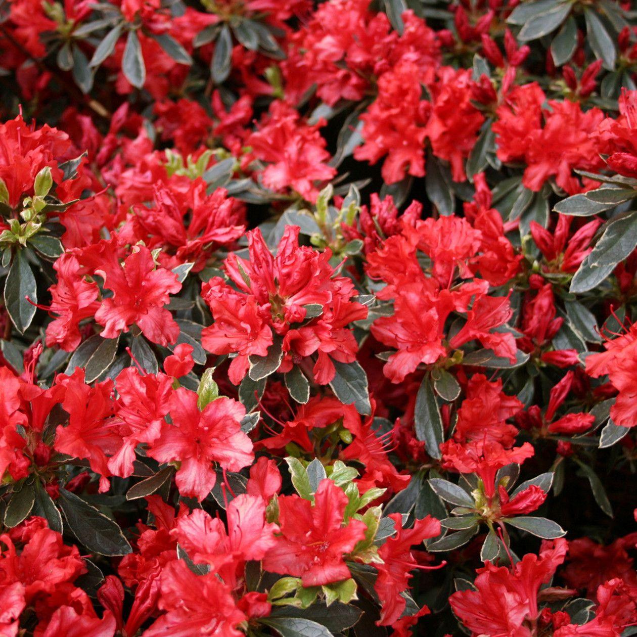 Error Deloitte Uk Evergreen Shrubs Showy Flowers Landscaping Plants