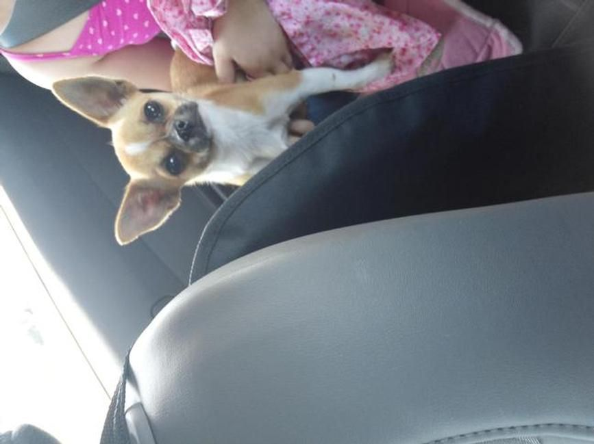 Unknown Id 53167 Gender Female Breed Chihuahua Color Golden
