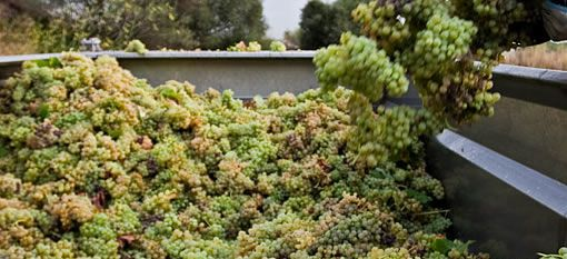 Insiders hint at bumper year for Sussex wine