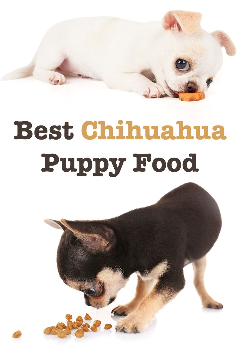Best Food For Chihuahua Puppy Tips And Reviews To Help You