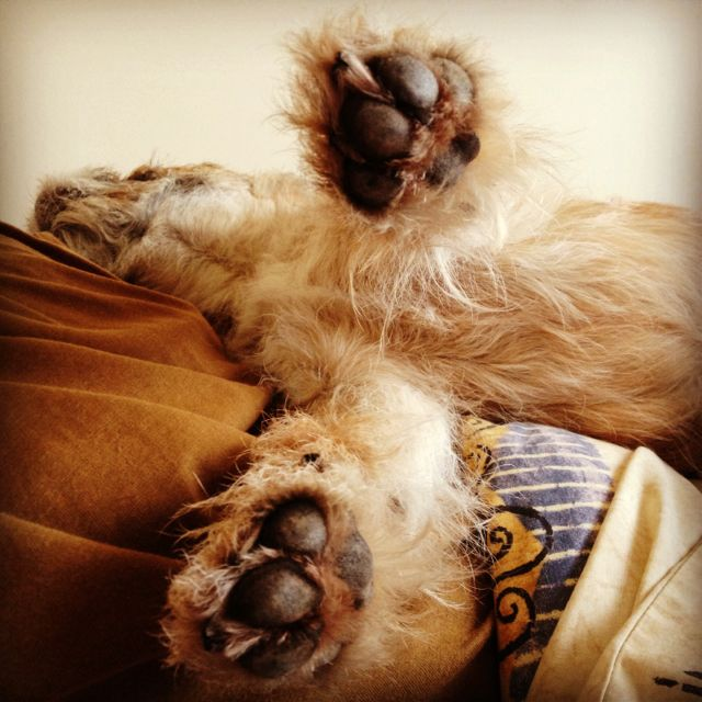Paws Outstretched Border Terrier Sleep Flying Borderterrier