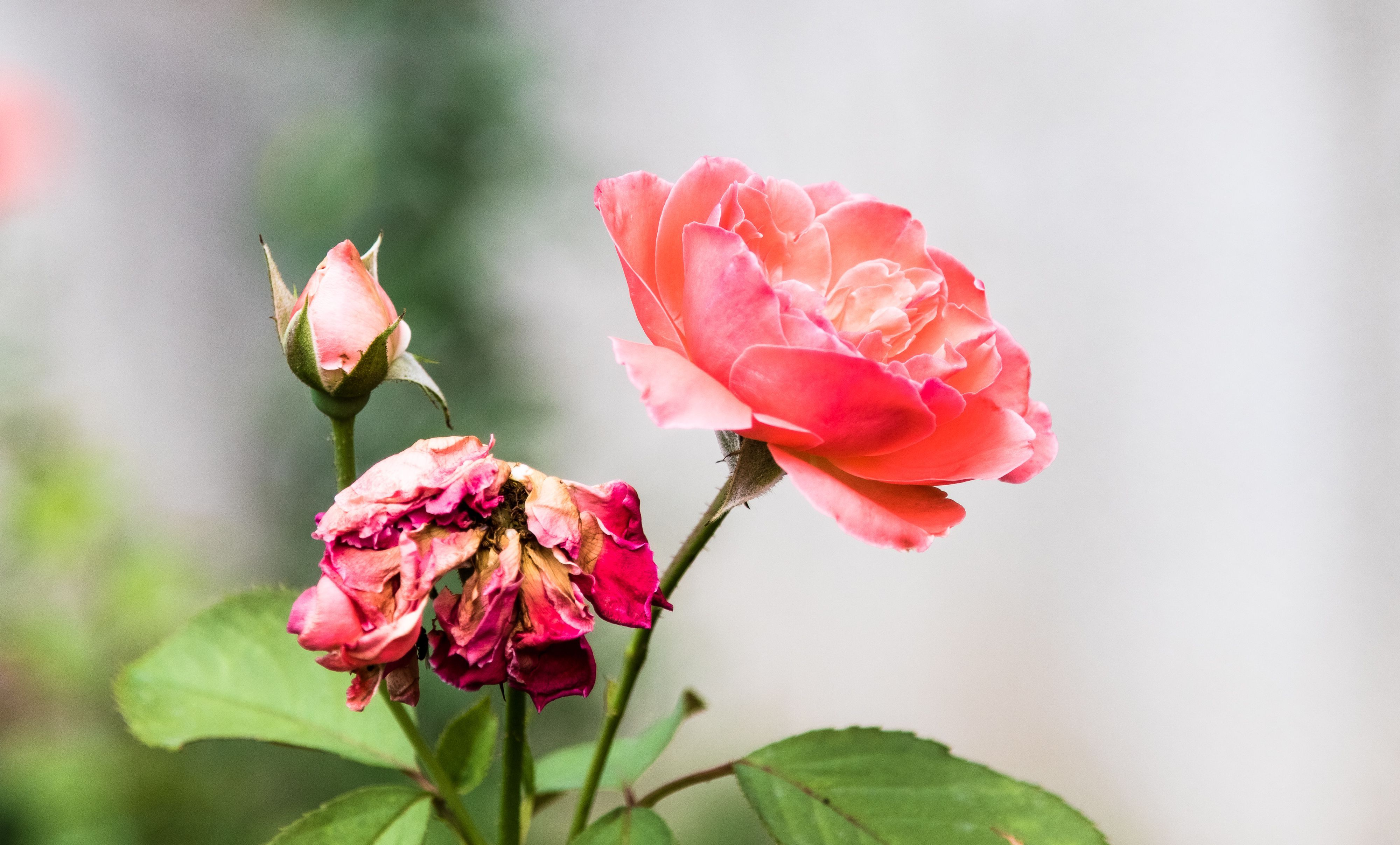 7 Types Of Roses That Are Easy To Grow Types Of Roses Rose Bush When To Prune Roses