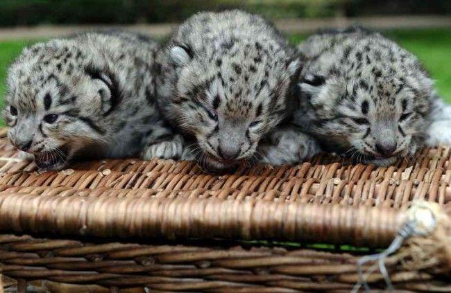 Páčia sa Vám tieto mačiatka? Pozrite si najkrajšie mláďatká zoologických záhrad.