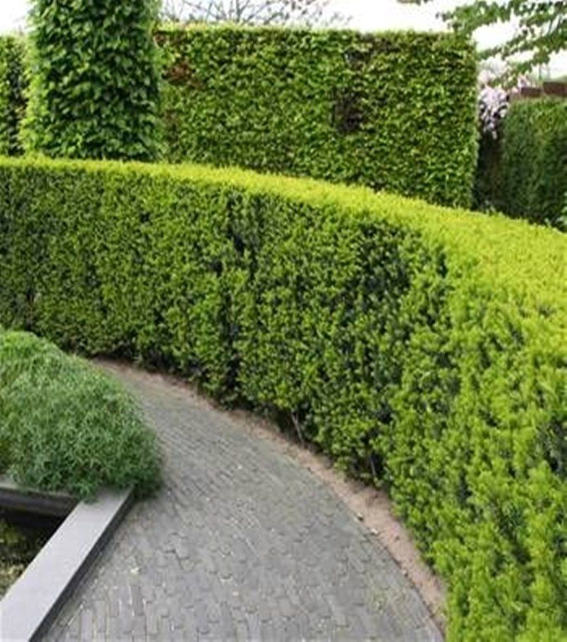 12 Garden Hedge Plants For Privacy Garden Hedges Privacy Plants