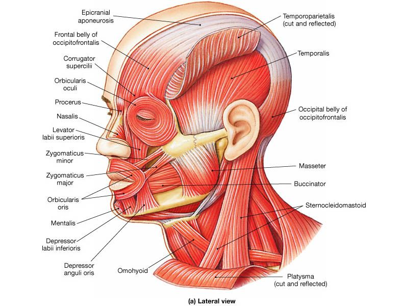 muscles of the head and face | Advocure NF2 Inc - Facial ...