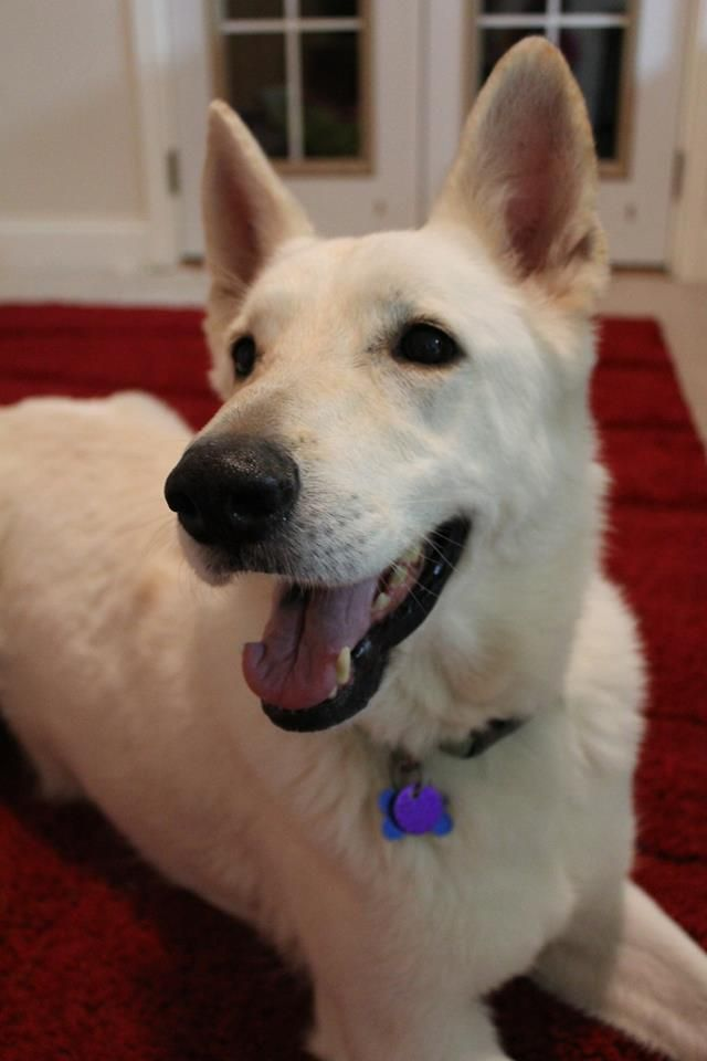 Adopt Heidi on German shepherd dogs, German shepherd