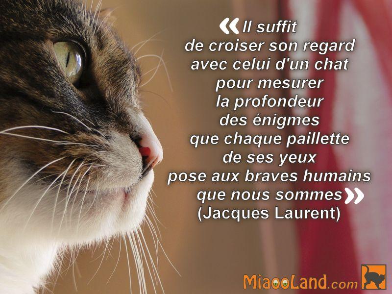 Citation chat Il suffit de croiser son regard avec celui d'un chat pour mesurer la profondeur des énigmes que chaque paillette de ses yeux pose aux braves humains que nous sommes