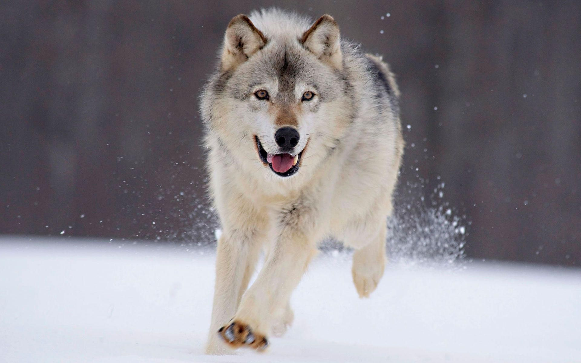 cool wolf running in the snow wallpaper Check more at http://www.finewallpapers.eu/pin/9363/