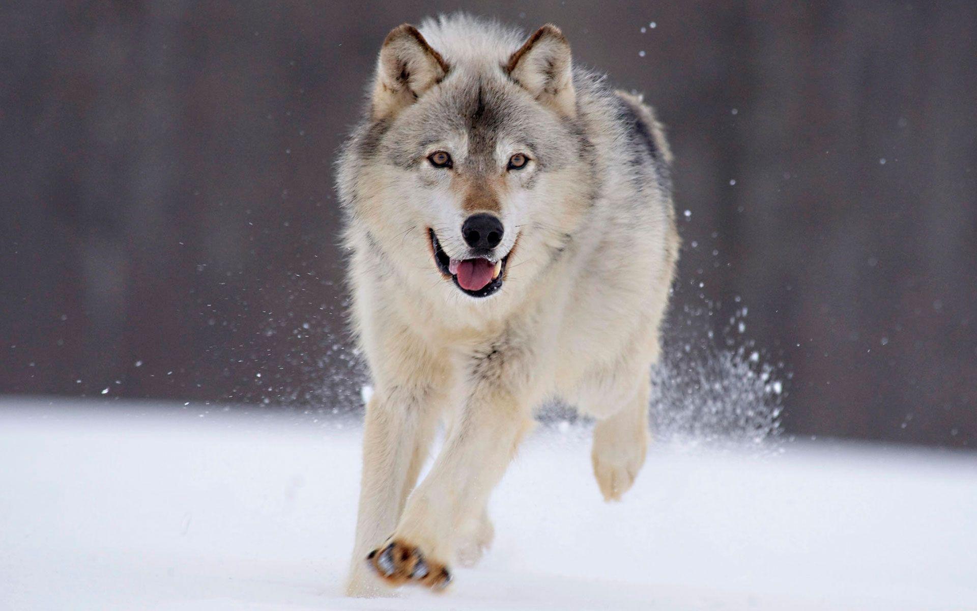 雪の中で駆け回る狼