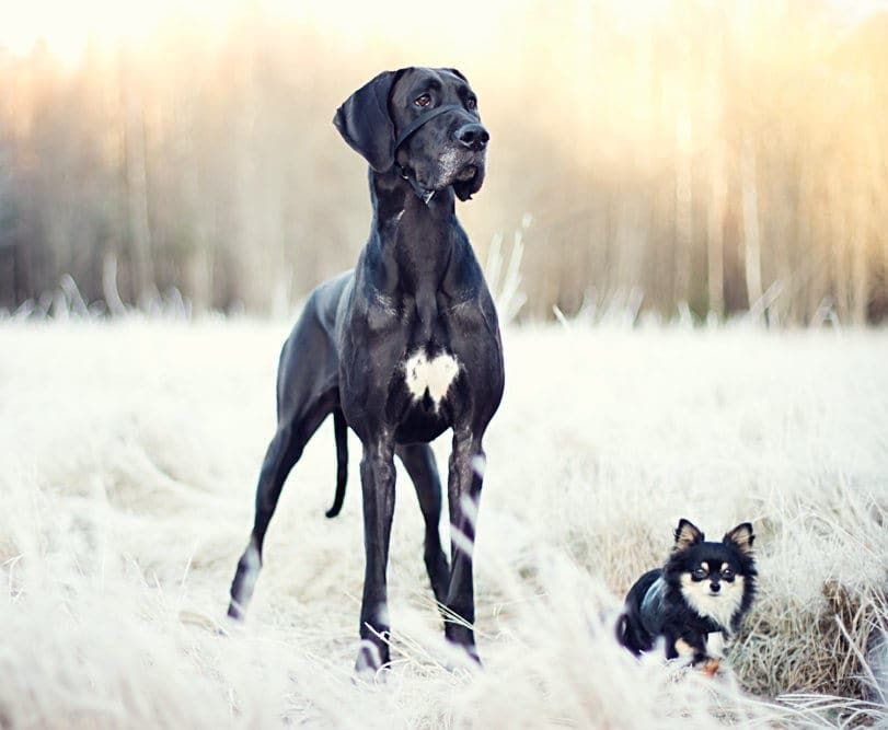 Great Dane Patient And Friendly Great Dane Dogs Dog Dna Dane