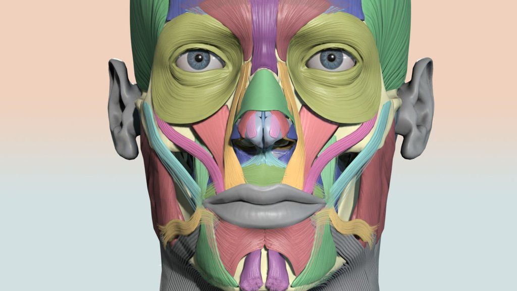 Interactive 3d Color Coded Head Muscle Chart On Sketchfab By