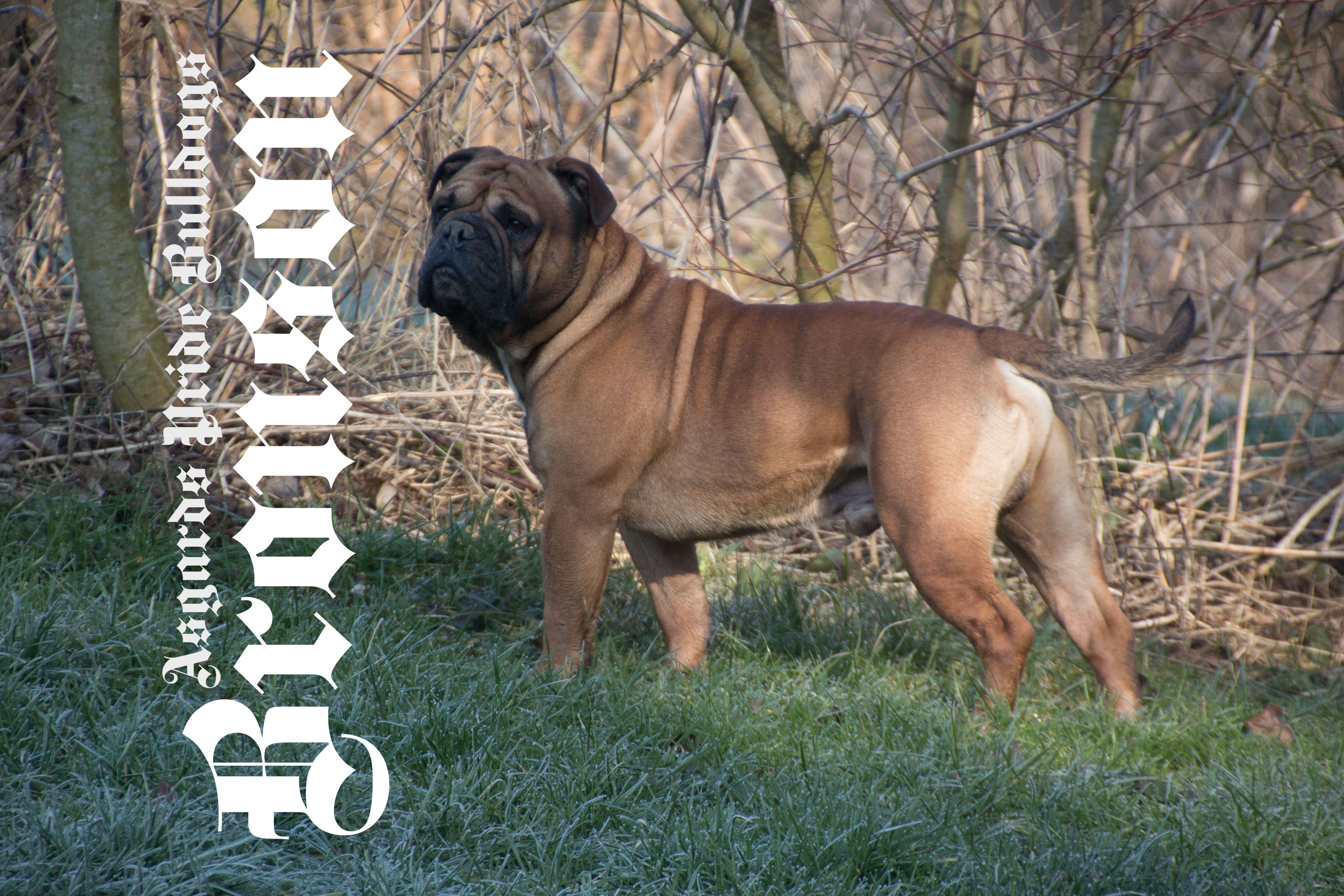 Ap Bronson Multiple Fci And Vdh Champion Continental Bulldog And Father And Grandfather Of Many Ap Puppies Continental Bulldog Bulldogge