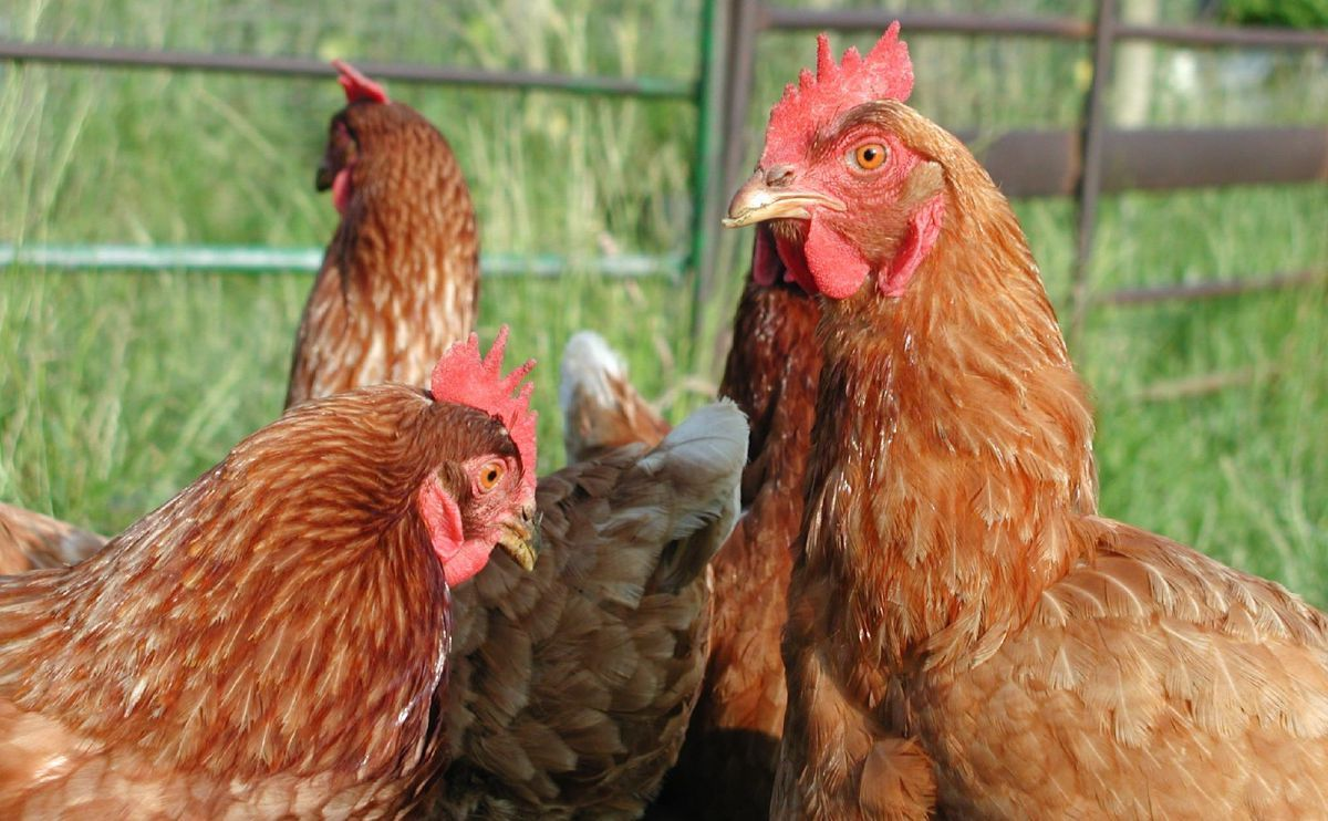 study finds that backyard chickens have more parasites than