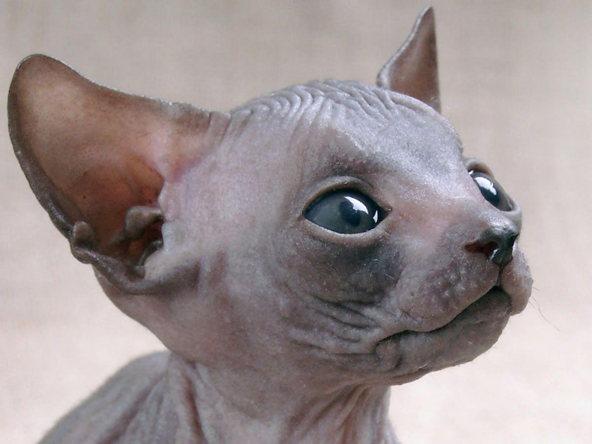 Grey Sphynx Cat Haarloze Katten Huisdieren Katten