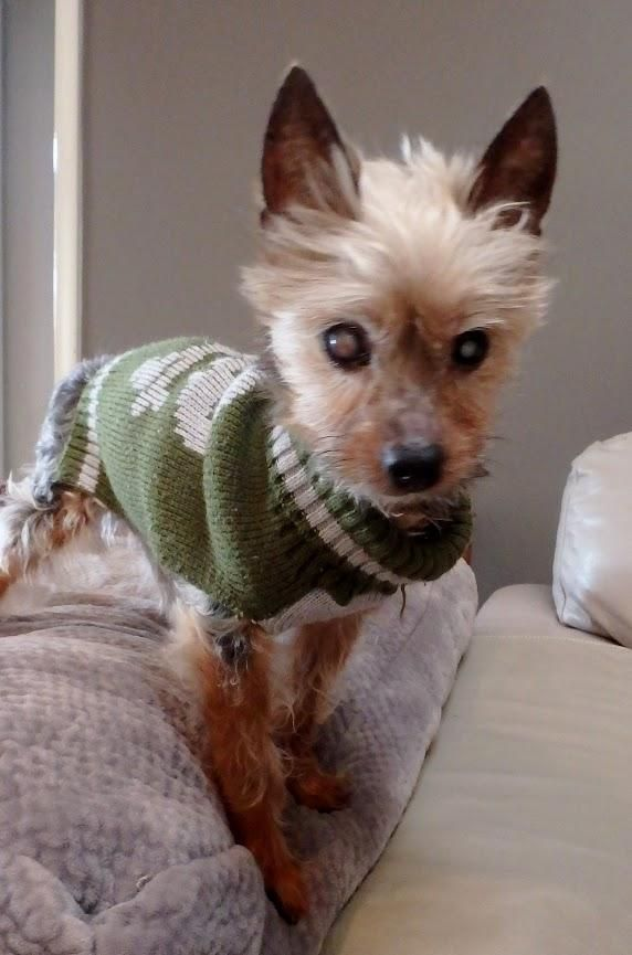 Adopt Nikko on Yorkshire terrier, Teacup cats, Toy