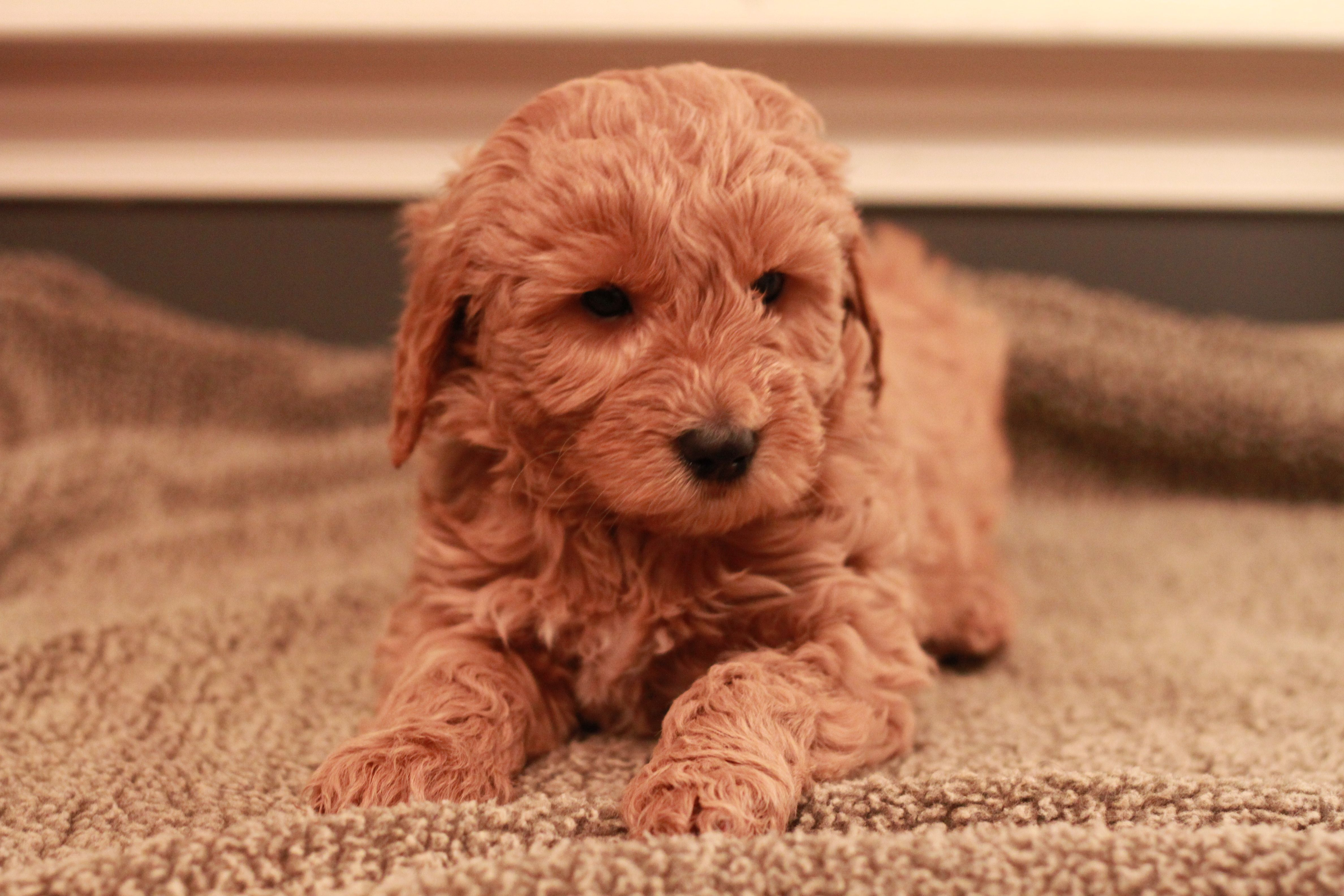 Goldendoodle Puppies for Sale In Pa in 2020 Goldendoodle