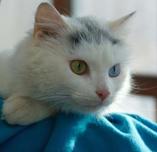 Adopt Heaven One Blue One Yellow Eye On Petfinder Turkish Van Cats Yellow Eyes Cute Cats