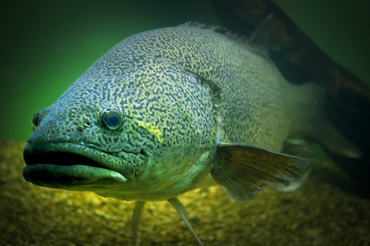 Murray cod fishing pinterest for What is cod fish
