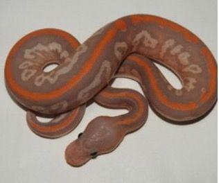 Orange Dream Black Pastel Banana Cypress Ball Python Snakes