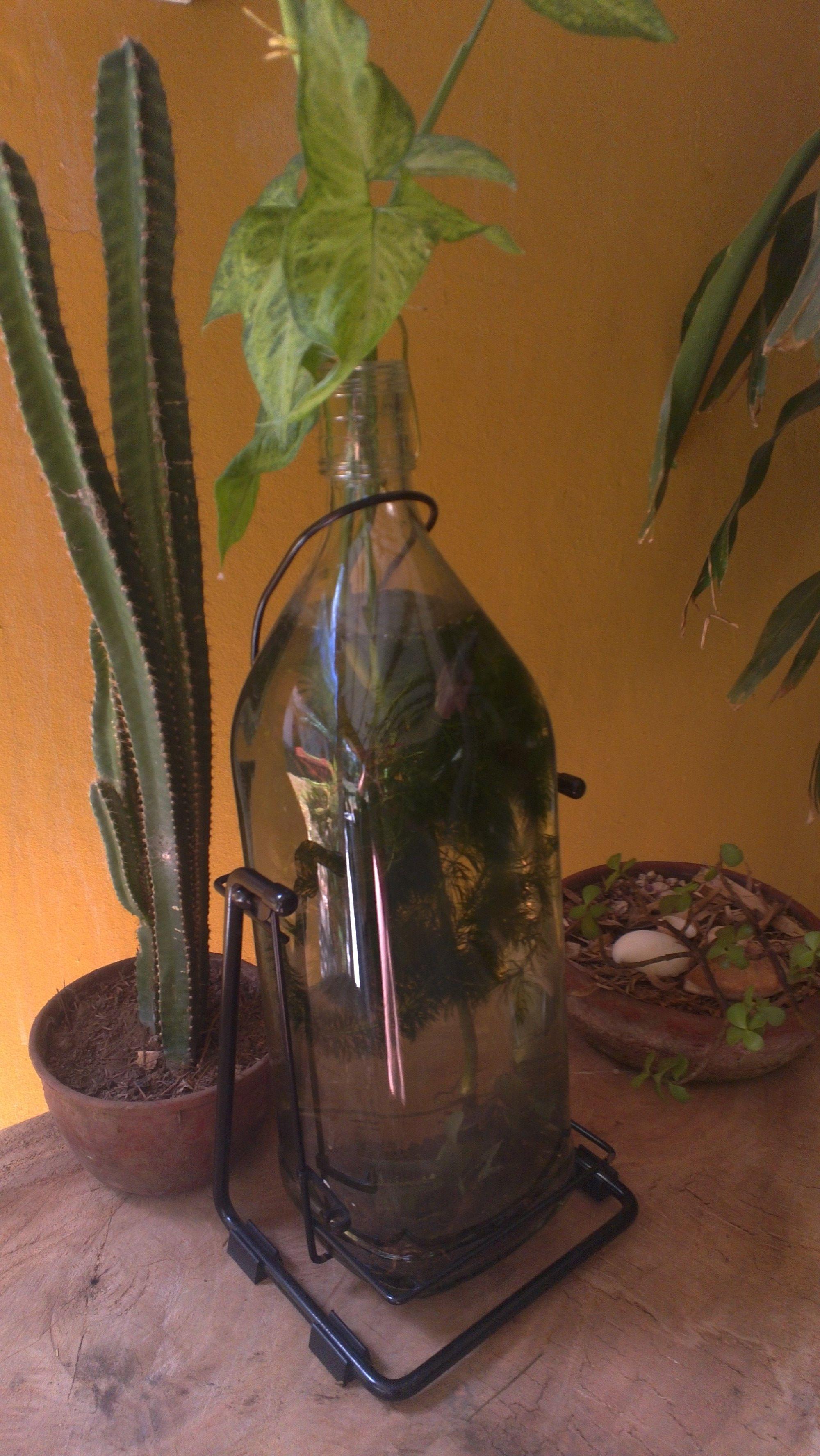 Botella de licor gigante + plantas. Acá hay un pequeño pez gallo, que vive tranquilo solo y se come los zancudos, tiene también algas para mejorar el oxígeno.