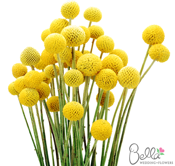 Yellow Craspedia Billy Balls Billy Button Flowers At Bella Wedding Flowers Single Stems Seasonal Flowers Flowers Uk Wedding Flowers