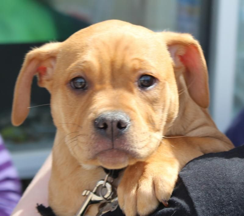 Adopt Sheldon On Pitbull Terrier Dogs Dogs Puppies