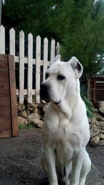 White Cane Corso Corso Dog Cane Corso Dog Teddy Dog