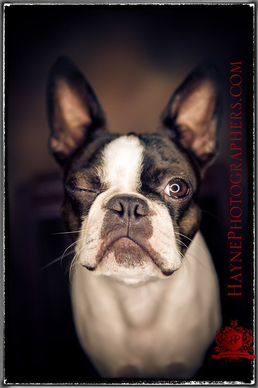 Pet Portraits Photographer Dog Portraits Photography Boston