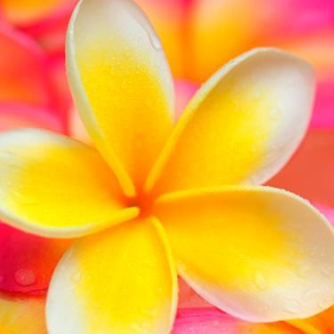 Summer is the time for Frangipani!!!