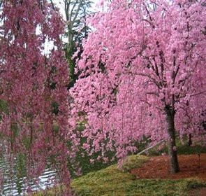 Japanese Weeping Cherry Tree Higan 2 3 Feet Tall Pink Blooms
