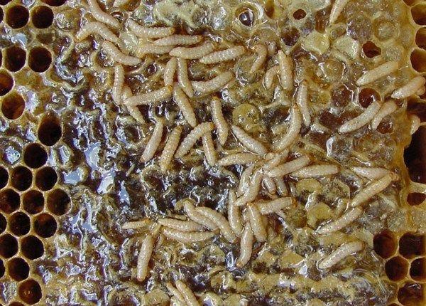 3ed0470d55e9396668e847c00abcb3bf - How To Get Rid Of Small Hive Beetle Larvae