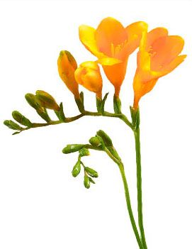 Freesia Flower Meaning Symbolism Freesia Flowers Fresia Flower Flower Meanings