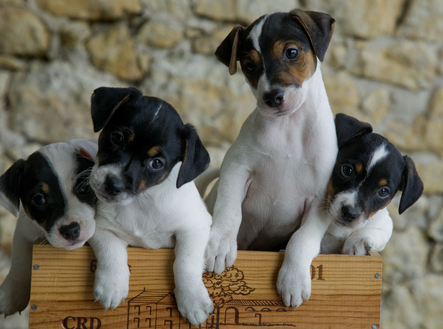 Dogs:  Jack Russell terrier puppies