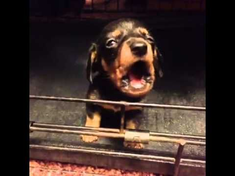 Cutest Little Thing Vine Cute Dogs Dog Gifs Dachshund Love