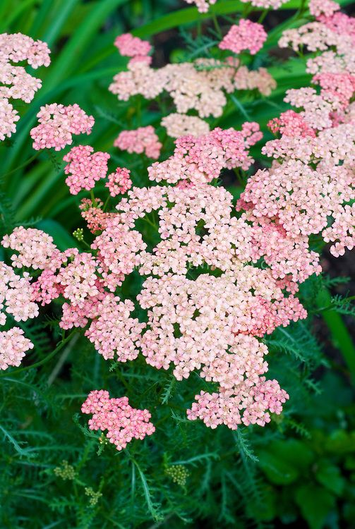 Achillea Pink Grapefruit Yarrow Yarrow Plant Flower Stock Photography Dry Shade Plants