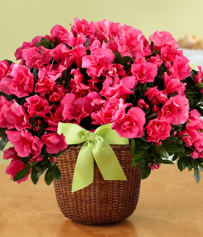 hot pink Azaleas....a popular chinese new year plant which
