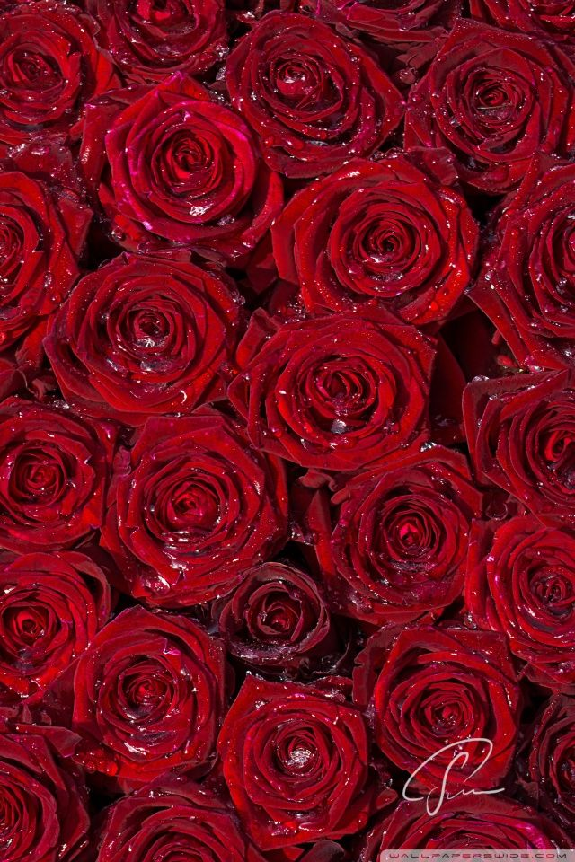 Red Roses Hd Desktop Wallpaper Fullscreen Mobile Red Roses
