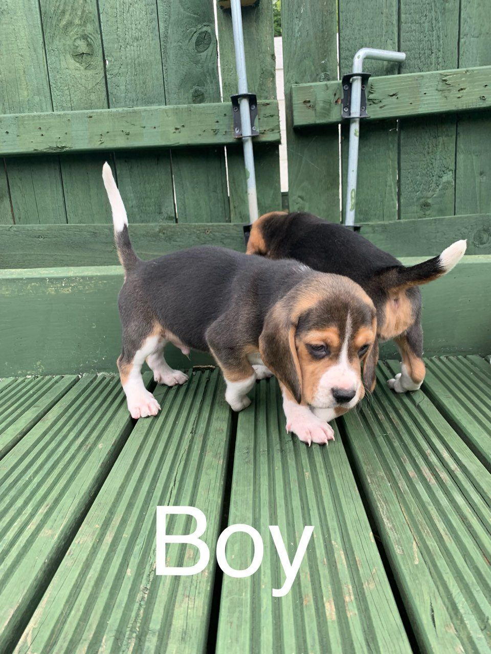Kuwait Dogs And Puppies Adoption And Sales Email Us At Khaleelsalafi Hotmail Com Beautiful Beagle Puppies In Kuwa Beagle Puppy Puppies Most Popular Dog Breeds