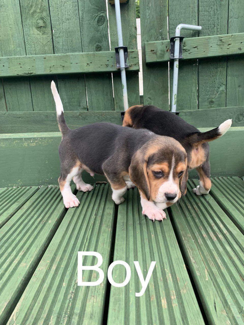 Beautiful Beagle Puppies In Kuwait Beagle Puppy Puppies Beagle