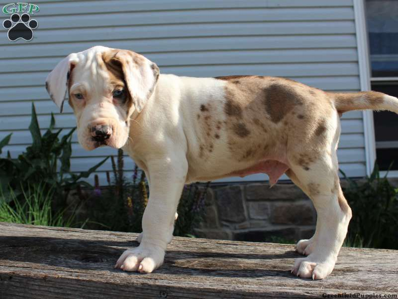 Leo Great Dane Puppy For Sale In Ohio Great Dane Puppy Dane