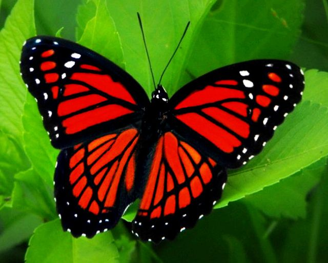 Roter Schmetterling Viceroy Butterfly | Red Butterfly, Beautiful Butterflies