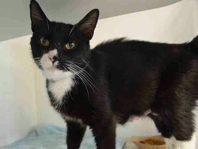 FRITTATA  A1105266 Manhattan Urgent Shelter Cats