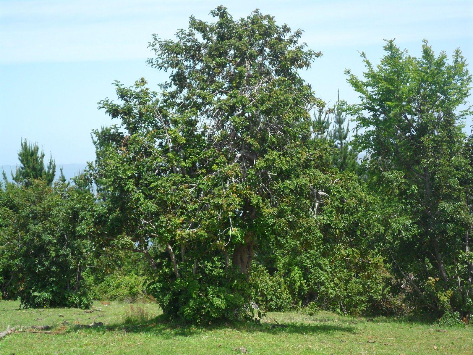 Avellano (Corylus avellana)