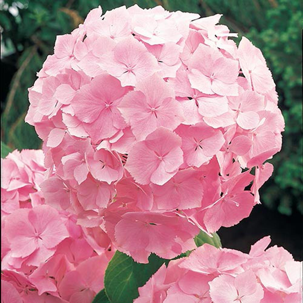 Spring Hill Nurseries 4 In Pot Forever Ever Pink Hydrangea Live Deciduous Plant Pink Flower 1 Pack Hydrangea Potted Plant Pink Hydrangea Flowers