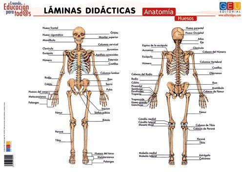 Laminas didacticas. anatomia. huesos | Educación | Pinterest ...
