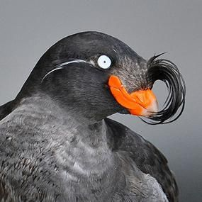 Crested Auklets Winter in the Bering Sea | BirdNote, must see one or a thousand so I can add to life list, fantastic looking bird. One more reason to bird Alaska