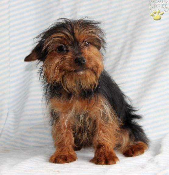 Cloe Chorkie Puppy For Sale In Ronks Pa Lancaster Puppies Puppies For Sale Lancaster Puppies Dog Breeder