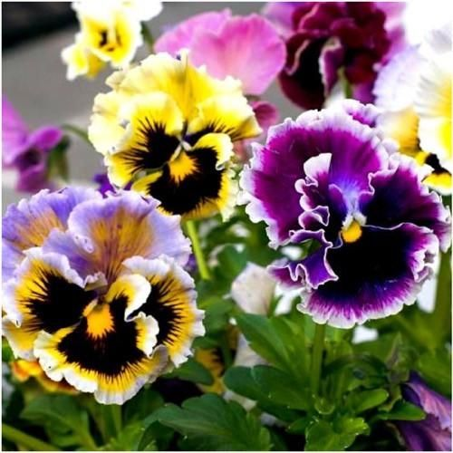 Flower Pansy Seeds Rococo Mix Beds Pots Containers Pictorial Packet Mix UK