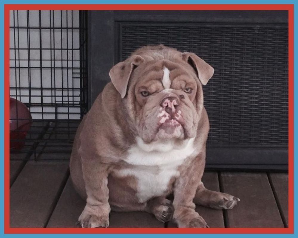 5 Tips For Effectively Train An English Bulldog English Bulldog
